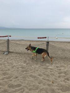 cane pastore tedesco sulla spiaggia a Calasetta in Sardegna